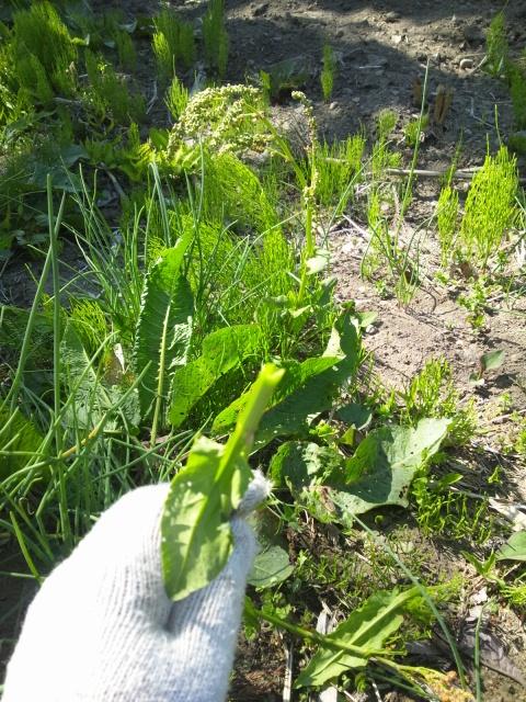 すっぱい草